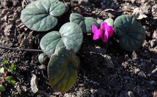 Cyclamen coum- Petites bulbeuses du jardin Henri Vinay (4)