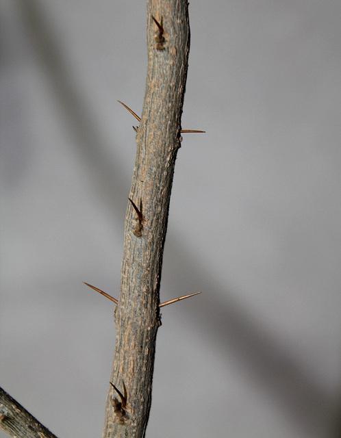 Duranta erecta- tige épineuse