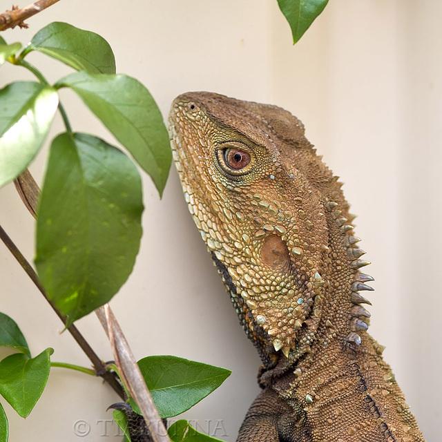 Portrait of a Dragon