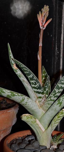 Aloe variegata DSC 0498