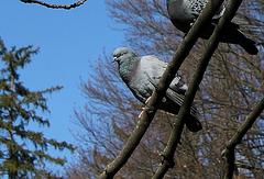 Les pigeons (3)-Oh.. Dormir.; enfin...