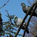 Les pigeons- L'un dort , l'autre pas