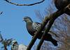"""Les pigeons - """"je t'ai à l'oeil"""""""