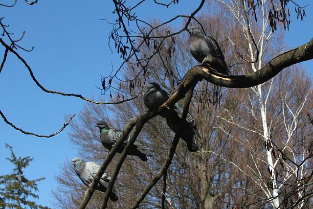 Les pigeons- Pour l'exposition.. tous les goûts sont dans la nature!!