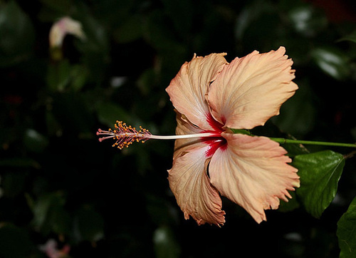 Hibiscus 'Fort de France'