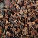 débris de chatons de Bouleau- bractées et graines