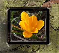 Frühlingsbote ✿