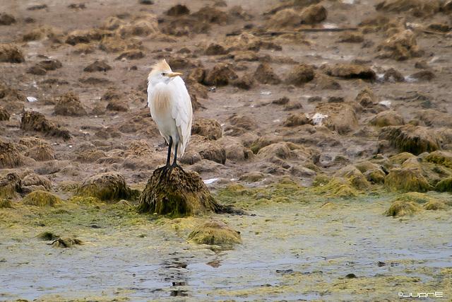 Garcilla Bueyera- Bubulcus ibis