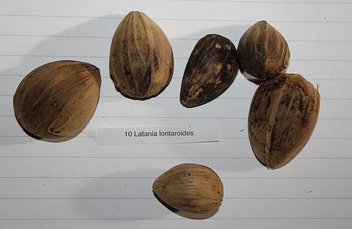 Latania lontaroïdes - 3 à 4,5 cm
