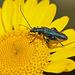 20110617 6040RMw [D~LIP] Grüner Scheinbockkäfer (Oedemera nobilis) [Blaugrüner Schenkelkäfer], UWZ, Bad Salzuflen