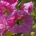 20110617 6038RMw Stockrose, Insekt