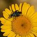 20110617 6030RMw [D~LIP] Grüner Scheinbockkäfer (Oedemera nobilis) [Blaugrüner Schenkelkäfer], UWZ, Bad Salzuflen