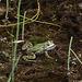 20110617 6006RMw [D~MI] Wasserfrosch (Rana esculenta), Großes Torfmoor, Hille