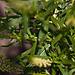 20110617 5940RMw Färber-Wau (Reseda luteola)