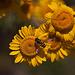 20110617 5932RMw [D~LIP] Gelbbein Wiesenschwebfliege, Blütenpflanze ?????, UWZ, Bad Salzuflen