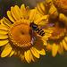 20110617 5931RMw [D~LIP] Gelbbein-Wiesenschwebfliege, Blütenpflanze, UWZ, Bad Salzuflen