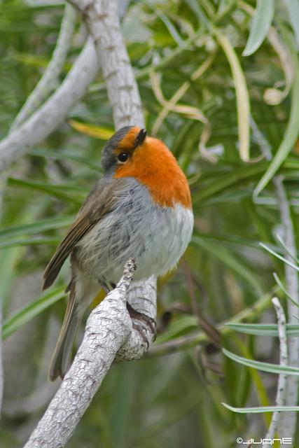 Petirrojo (Erithacus rubecula superbus )