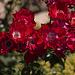 20110617 5919RMw Rose, Schwebfliege