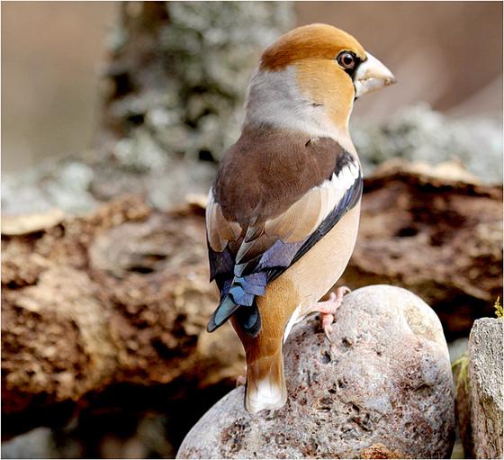 le grosbec casse noyaux : lui, si fier de ses plumes bleues
