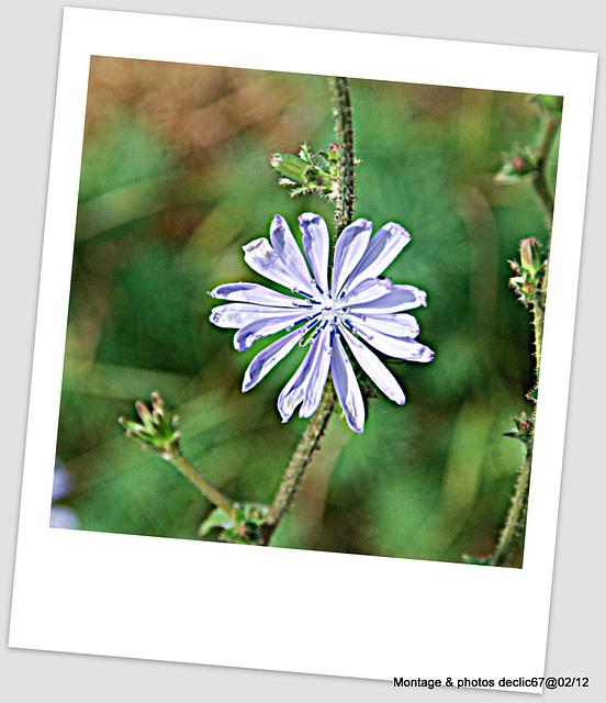 fleur de salade