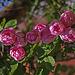 20110617 5911RMw Rose