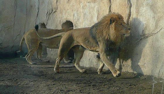 Zoo Dresden - Löwe