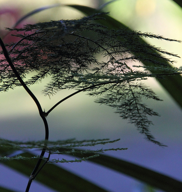 Asparagus plumosa