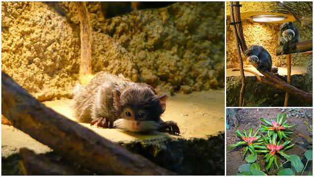 Zoo Dresden - Kaiserschnurrbarttamarin