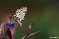 20100926-0566 Lesser Grass Blue