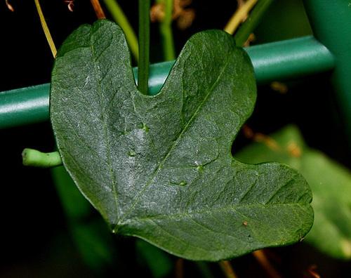 P. aurantia - feuille