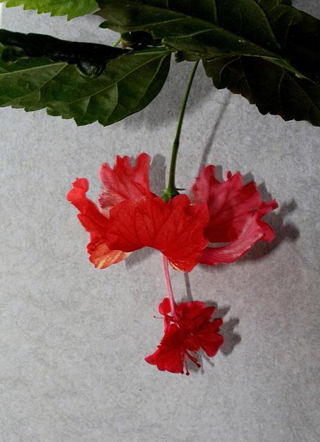 Hibiscus El Capitolio