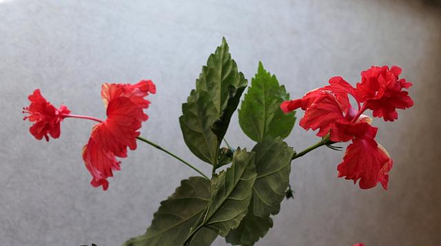 Hibiscus El Capitolio (3)