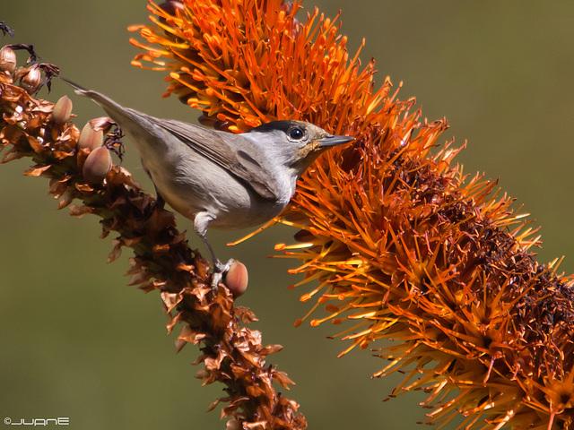 Curruca capirotada – Sylvia atricapilla heineken (♂)