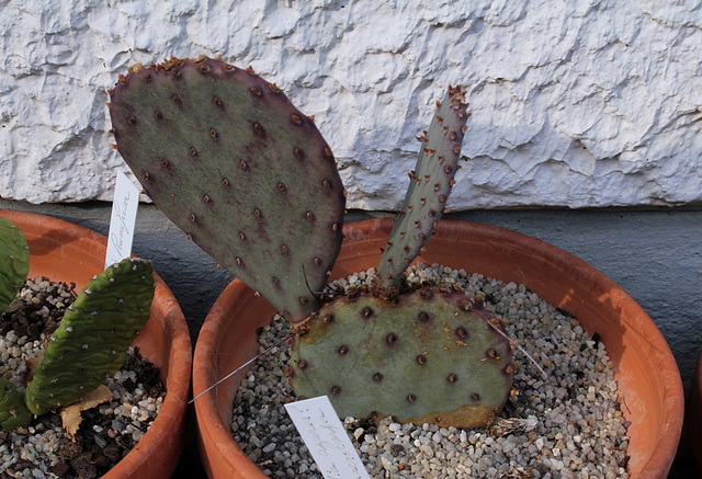 Opuntia macrocentra-Fin d'hiver