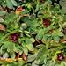 Saxifraga arendtsii au printemps
