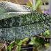 Phalaenopsis wiganae