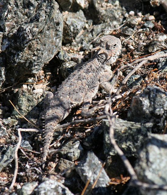 Desert Horned Lizard (3272)