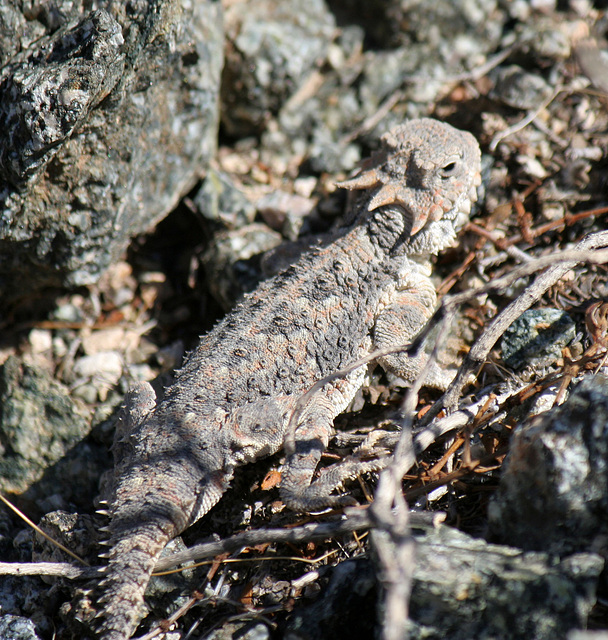 Desert Horned Lizard (3274)
