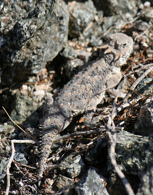 Desert Horned Lizard (3275)