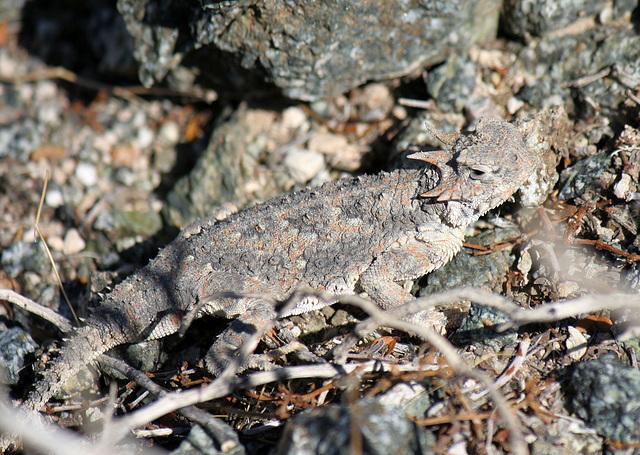 Desert Horned Lizard (3276)