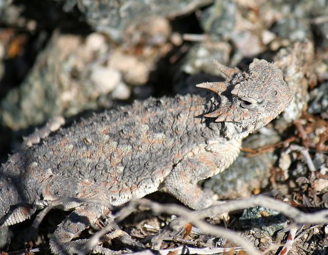 Desert Horned Lizard (3277)