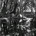 forêt de mapé,Inocarpus fagifer