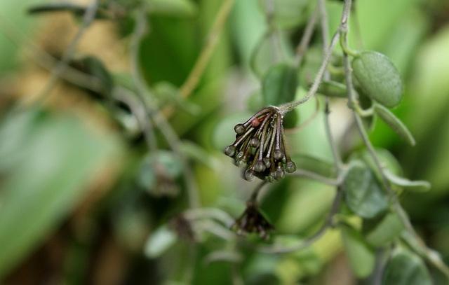 Hoya serpens (2)