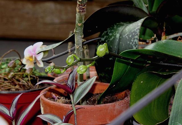 Phalaenopsis montant en fleur