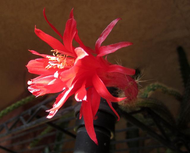Cactus Flower (0814)