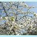 **      cerisier  **