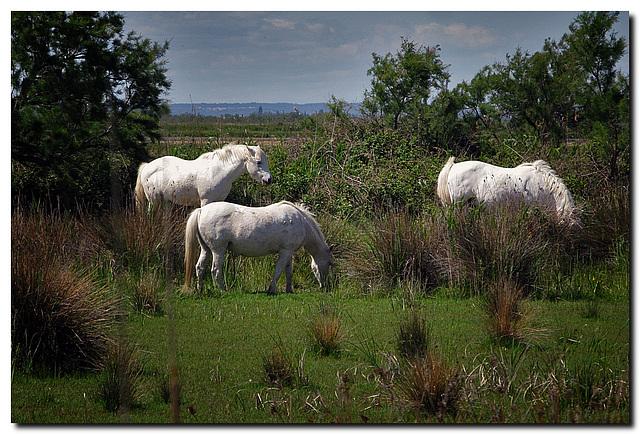 Weiße Pferde der Carmague ...