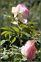 Roses à Chenonceaux