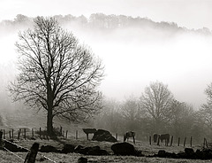 Arbre et vaches dans la brume