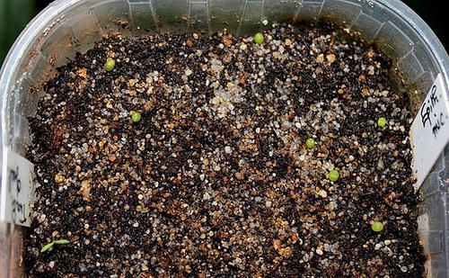 semis cactées du 1er mars